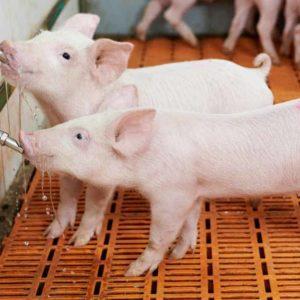 Formarse con el Máster en Producción de Cerdos de Recría y Cebo