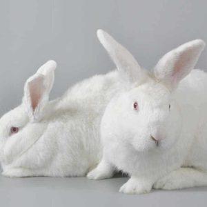 Fórmate con el Máster en Producción Intensiva de Conejos