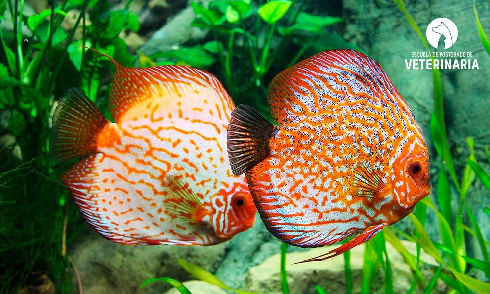 5 peces de agua dulce que te cautivarán