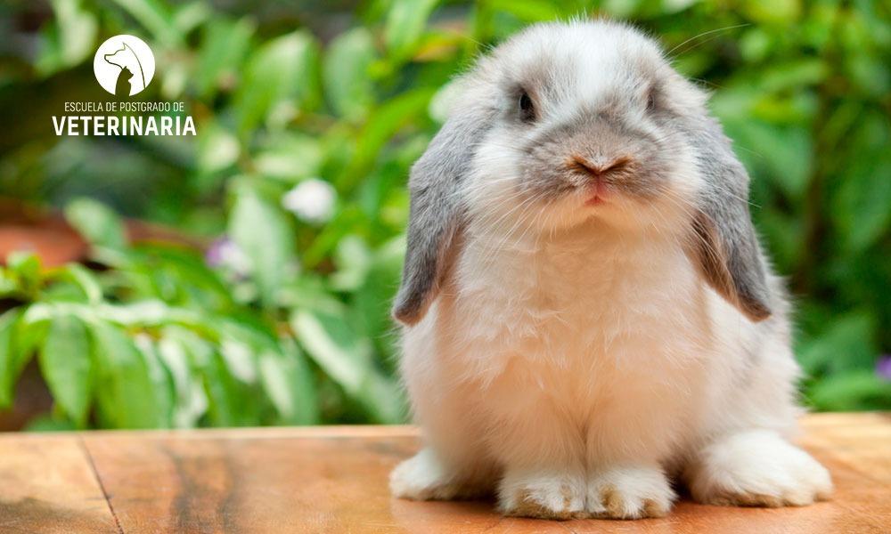 Razas de conejos y sus principales características