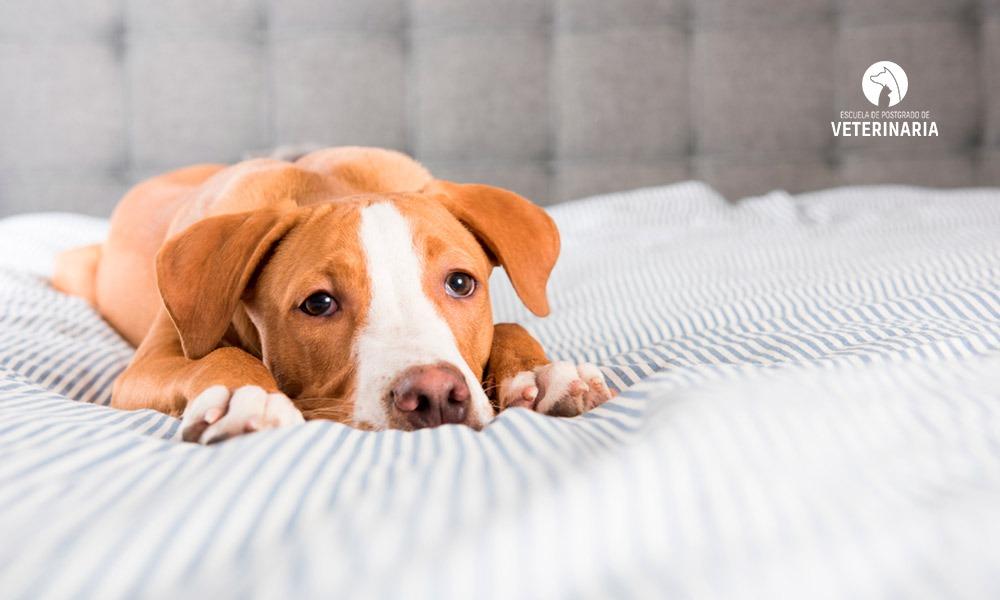 Tos de las perreras: qué es y cómo se transmite